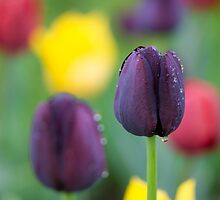 Dark-violet Tulips Flower by cinema4design