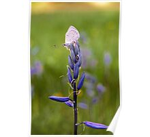 Common Camas Lily Poster
