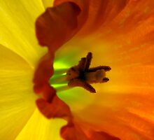 Daffodil Abstract I by Lesley Smitheringale