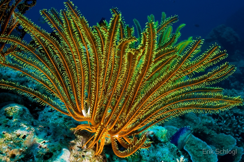 Feather Star, Kimbe Bay, Papua New Guinea by Erik Schlogl