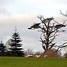Grazing Sheep Around Devon UK by lynn carter