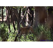 Buck and Doe Photographic Print