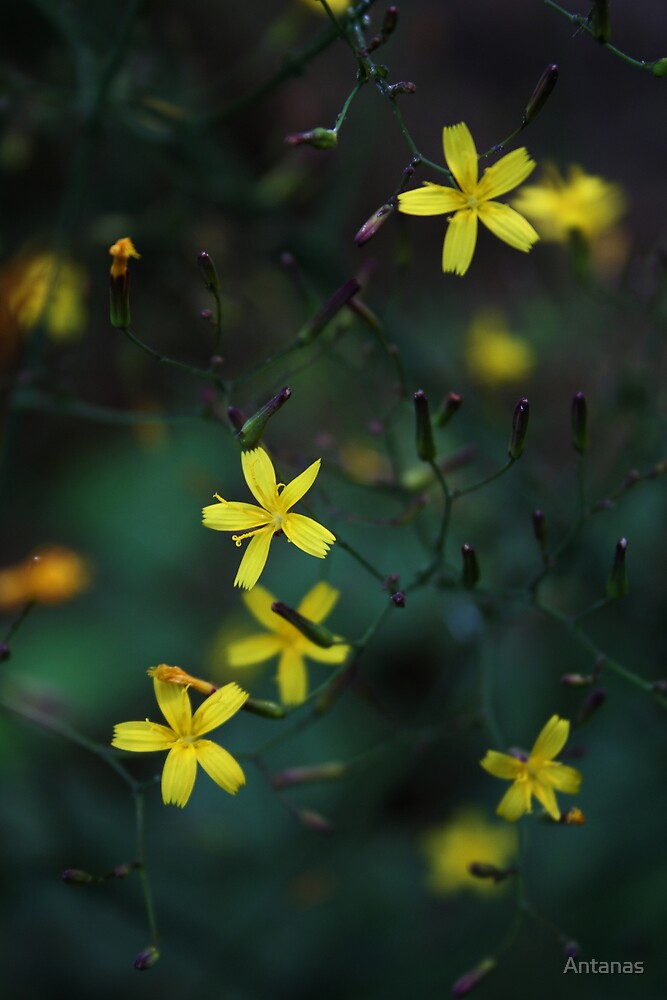 Wild flowers from Lithuania by Antanas