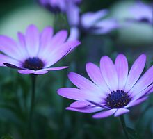 daisy dawn (osteospermum) by picketty