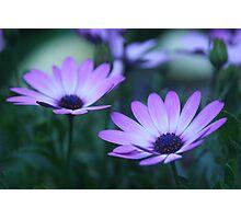 daisy dawn (osteospermum) Photographic Print