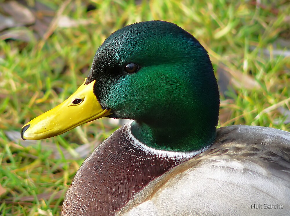 Portrait of a duck... by Nuh Sarche