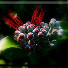 """ NZ Xmas Bush Bloom"" by debsphotos"