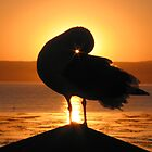 Seagull at Sunrise in Monterey, CA by Travis Hammond