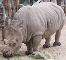 magestic rhino from az by the only 1