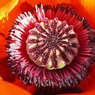 Poppy's middle... by Nuh Sarche