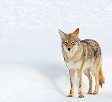 Coyote, Lamar Valley, Yellowstone National Park by Gary Lengyel