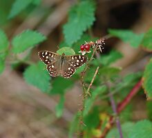 Speckled Wood  by Simon Pattinson