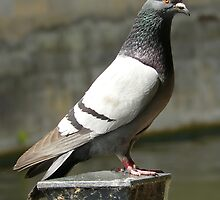 Pigeon... by Nuh Sarche