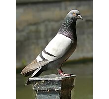 Pigeon... Photographic Print