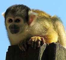 Squirrel monkey by Gili Orr