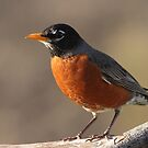 American Robin... by Gregg Williams