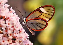 Glasswing Butterfly by Jo Nijenhuis