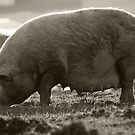 Oink! by ToddDuvall
