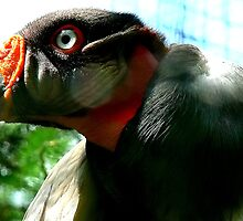 King Vulture by Johan  Nijenhuis