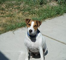 jack russel terrier- jay jay by richardthor