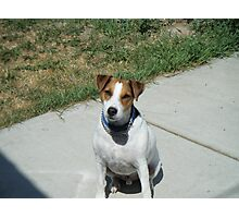 jack russel terrier- jay jay Photographic Print