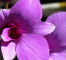 Cooktown Orchid (Dendrobium bigibbum) by Marilyn Harris