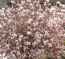 masses of magnolia blossoms by gaylene