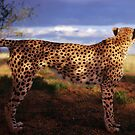 Cheetah on the lookout by Wild at Heart Namibia