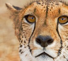 Cheetah - looking in the eye by Wild at Heart Namibia