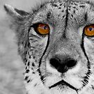 Cheetah portrait by Wild at Heart Namibia