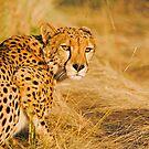 Stalking Cheetah by Wild at Heart Namibia