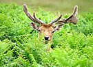 Hello Deer by Colin J Williams Photography