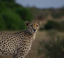 Cheetah by Barrie Johnson