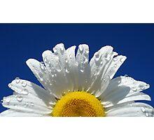 Daisy on Blue Photographic Print