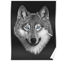 Wolf with blue eyes Poster