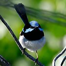 Superb Fairy Wren by Normf