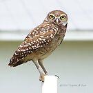 Burrowing Owls Calendar by Virginia N. Fred