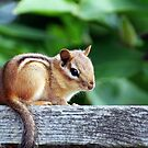 Chippy Chipmunk by Robin Webster