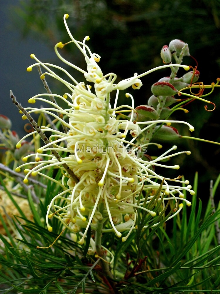 "Grevillea ""Moonlight"" by Marilyn Harris"