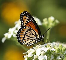 Another Viceroy. by Gregg Williams