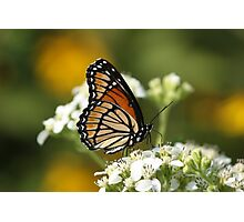 Another Viceroy. Photographic Print