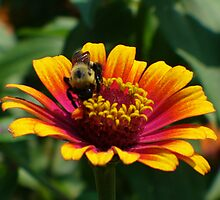 Bumble Bee on Zinnia by spencerphotos