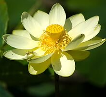 water lily by rlkstudio