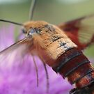 Hummingbird Moth by mikrin