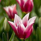 Tulip by Mark Baker