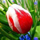 The Striped Tulip by Fara