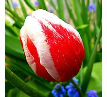 The Striped Tulip Photographic Print