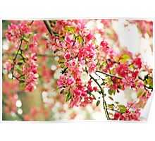 Pink and White Apple Blossoms  Poster