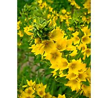 Small Yellow flowers Photographic Print