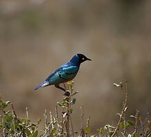 Superb Starling by Barrie Johnson